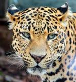 Lampart, Jaguar, pantera Obraz Royalty Free