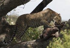 Lampart je młodego hipopotama na drzewie w Maasai Mara Obraz Stock