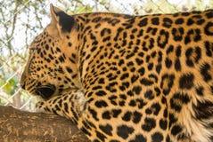 Lampart jest gatunkami w genus Panthera zdarza się w szerokim zakresie w subsaharyjskiej afryce Zdjęcia Royalty Free