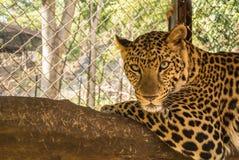 Lampart jest gatunkami w genus Panthera zdarza się w szerokim zakresie w subsaharyjskiej afryce Zdjęcie Stock