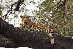 Lampart kłaść w drzewie Zdjęcie Stock