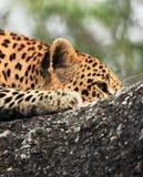 Lampart kłaść w drzewie Zdjęcie Royalty Free