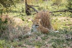 Lampart kłaść w trawie Obrazy Royalty Free