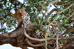 Lampart na drzewie Obrazy Royalty Free