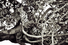 Lampart na drzewie Obrazy Stock