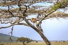 Lampart na drzewie Zdjęcia Royalty Free