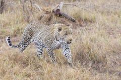 Lampart na polowaniu w Południowa Afryka Fotografia Royalty Free