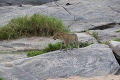Lampart na skale w dzikim maasai Mara Fotografia Royalty Free