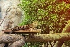 Lampart odpoczywa na drewnie zdjęcia royalty free