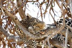 Lampart odpoczywa na drzewie Obrazy Stock