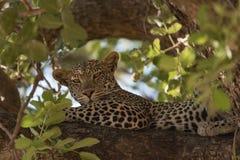 Lampart odpoczywa na gałąź w Ruaha parku narodowym Obrazy Royalty Free