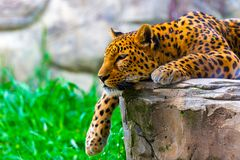 Lampart odpoczywa na skale obrazy royalty free