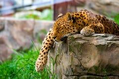 Lampart odpoczywa na skale zdjęcia stock