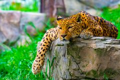 Lampart odpoczywa na skale obraz royalty free