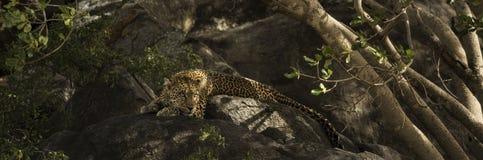 Lampart odpoczywa na skale, Serengeti, Tanzania Obrazy Royalty Free