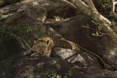 Lampart odpoczywa na skale, Serengeti, Tanzania Obraz Stock