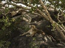 Lampart odpoczywa na skale, Serengeti, Tanzania Fotografia Stock