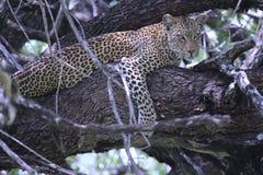 Lampart odpoczywa w drzewie Zdjęcia Royalty Free