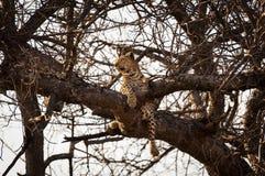 Lampart odpoczywa w gałąź drzewo w Okavango delcie w Botswana, Afryka Obrazy Royalty Free