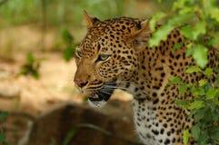 Lampart (Panthera pardus) Obraz Royalty Free