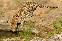 Lampart (Panthera pardus) Zdjęcia Royalty Free