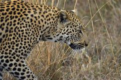 Lampart (Panthera pardus) Obrazy Royalty Free