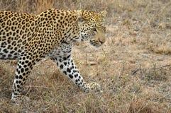 Lampart (Panthera pardus) Zdjęcie Stock