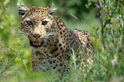 Lampart (Panthera pardus), Kruger Nati Obraz Stock