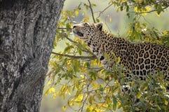 Lampart (Panthera pardus) w drzewie Zdjęcia Royalty Free