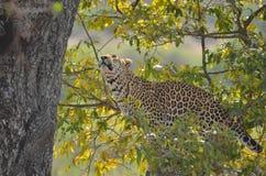 Lampart (Panthera pardus) w drzewie Fotografia Royalty Free