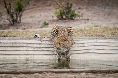 Lampart pije przy waterhole Zdjęcie Stock