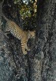 Lampart postawa w drzewie Fotografia Royalty Free
