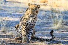 Lampart relaksuje w cieniu w Namibia, Afryka Zdjęcie Stock