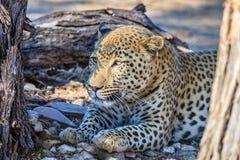 Lampart relaksuje w cieniu w Namibia, Afryka Zdjęcia Royalty Free