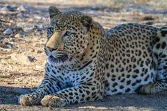 Lampart relaksuje w cieniu w Namibia, Afryka Obraz Stock