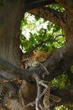 Lampart relaksuje w drzewie Zdjęcia Royalty Free