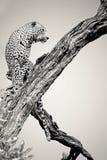 Lampart samiec w Czarny I Biały Zdjęcie Stock