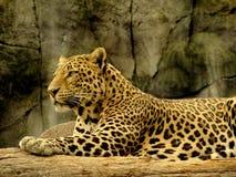 Lampart w dżungli Obrazy Royalty Free