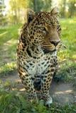 Lampart w dżungli Zdjęcia Royalty Free