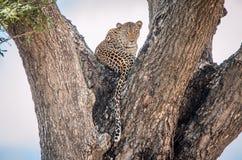 Lampart w drzewie Zdjęcia Stock