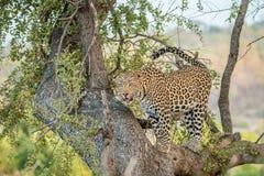 Lampart w drzewie Obrazy Royalty Free