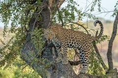 Lampart w drzewie Zdjęcie Royalty Free