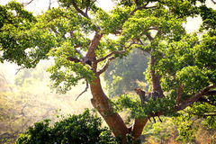 Lampart w drzewie w Kenja Fotografia Stock