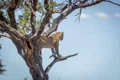 Lampart w drzewie w Kruger parku narodowym, Południowa Afryka Fotografia Stock
