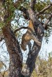 Lampart w drzewie w Kruger parku narodowym, Południowa Afryka Obrazy Royalty Free