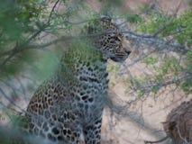 Lampart w krzaku Południowa Afryka Zdjęcie Stock