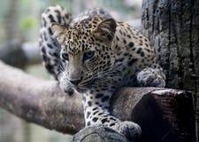 Lampart w Malacca zoo Zdjęcie Stock
