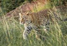 Lampart w Masai Mara parku narodowym, Kenja Obraz Stock