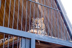Lampart w niewoli w zoo za barami Władza i agresja w klatce Obrazy Stock