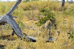 Lampart w Pom-Pom wyspie, Okavango delta, Botswana, Afryka Zdjęcia Stock